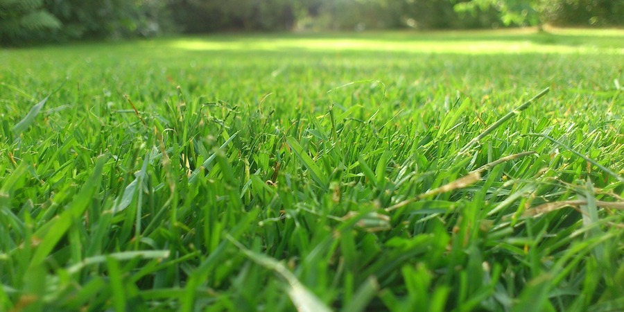 What Makes St Augustine Grass Soft or Scratchy