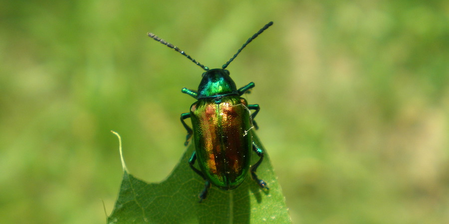 Controlling Japanese Lawn Beetle