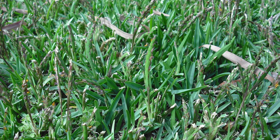 Controlling Seeding In Saint Augustine Grass