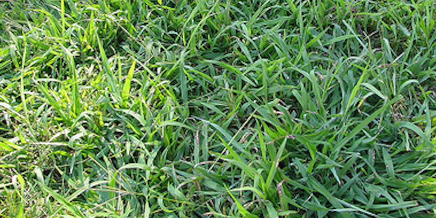Killing Crabgrass In Saint Augustine Lawns