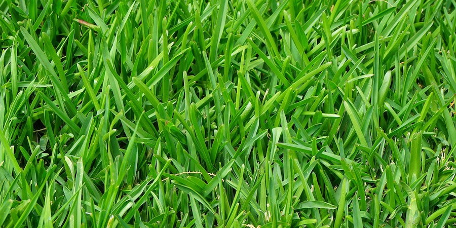 Saint Augustine Lawn Care Tips