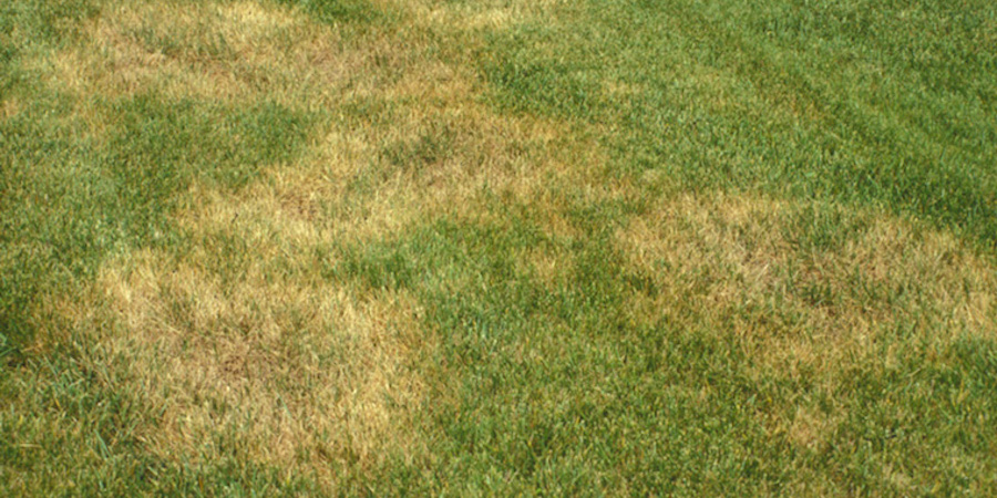 Brown Patch Disease In St Augustine Lawn