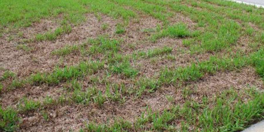 Repair A Damaged Saint Augustine Lawn